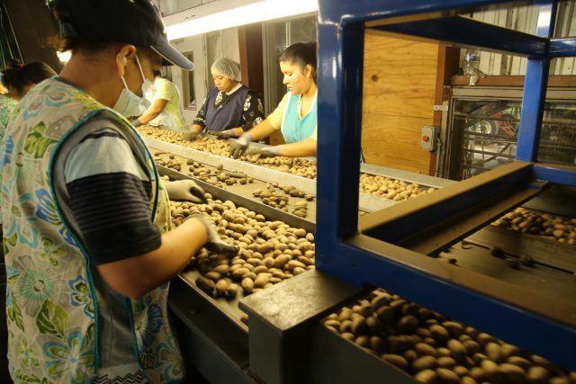 Selecting pecans, Camilla, GA, USA