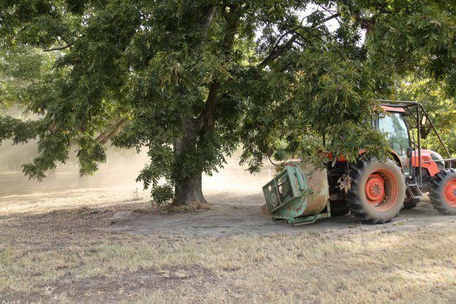 blowing the pecans, pecan harvest season, Pelham, Georgia, USA