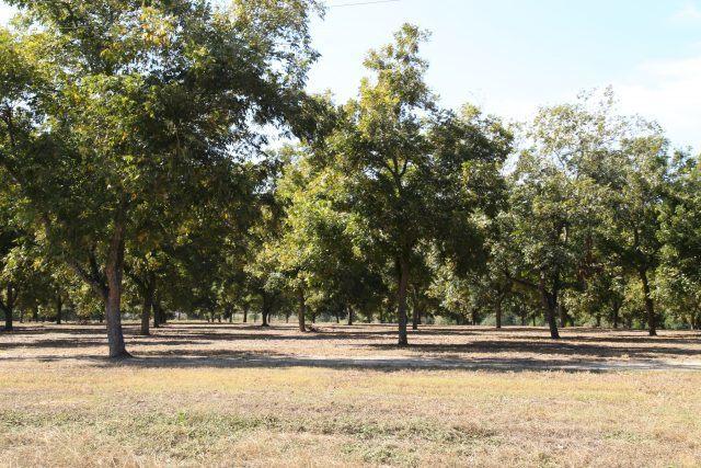 Visit to a pecan orchard at Georgia, USA